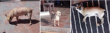 Chihuahua Rassehunde: TAO sucht neues Zuhause