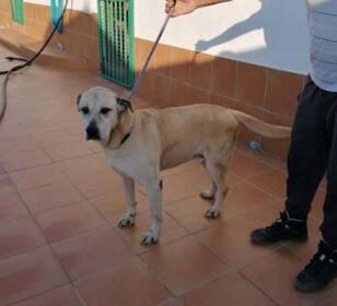Labrador Retriever Rassehunde: CESAR hofft auf Familienanschluss !