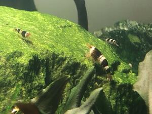 Garnelen: Black Bee , schwarze Bienengarnelen 10STK +2 gratis