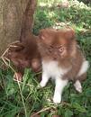 RALPHI - extrem süßer Pomeranian / Zwergspitz in Sonderfarbe