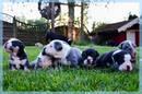 Englische Bulldoggen Welpen (al)