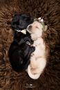 Bildschöne Labrador Welpen in gelb und schwarz