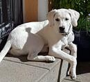 Weiße Labrador Welpen aus liebevoller Hausaufzucht auszugsbereit