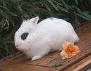 Erwachsene Löwenkopf Kaninchen für Außenhaltung