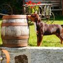 Entlebucher Sennenhund vom Nibelungenblut