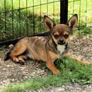 Schicker Chihuahua-Kurzhaarrüde
