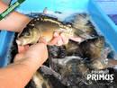 Besatzfische - 5 Spiegelkarpfen bis 29 cm