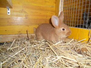 Hasen und Kaninchen: Mittelgroße Rassen - schnelles Wachstum und gute Futterverwertung