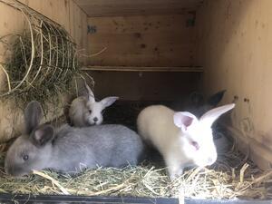 Hasen und Kaninchen: GANZJÄHRIG Kaninchen auf Wachstum und Futterverwertung gezüchtet!