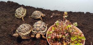 Schildkröte: Pantherschildkröten