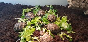 Schildkröte: Griechische Landschildkröten