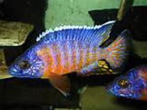 Süsswasserfische: Malawibarsche Abzugeben