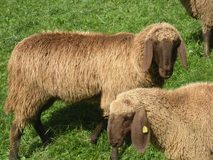 Schafe: Braune Bergschafe