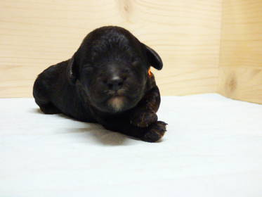 Pudel Hundewelpen: Süße Zwergpudel Welpen in schwarz und black and tan zu verkaufen