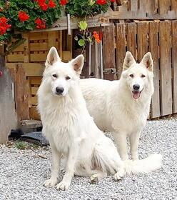 Weißer Schweizer Schäferhund Deckrüden: Deckrüde