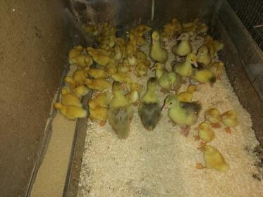 Geflügel: Enten unter 1 Woche