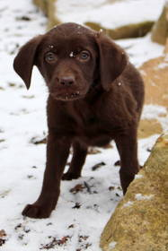 Labrador Retriever Hundewelpen: Labrador Welpen in verschiedenen Farben auszugsbereit