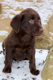 Labrador Retriever Hundewelpen: Labrador Welpen in vier verschiedenen Farben auszugsbereit