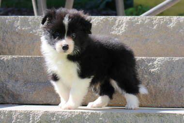 Border Collie Hundewelpen: Border Collie Welpen schwarz-weiss und EE-Red