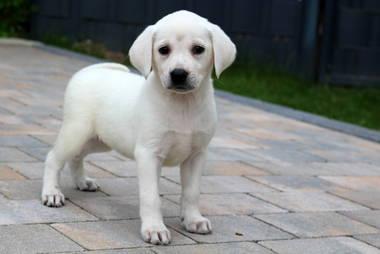 Labrador Retriever Hundewelpen: Labrador Welpen in verschiedenen Farben aus Familienaufzucht