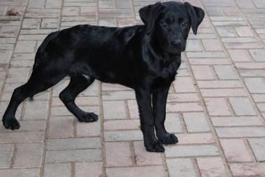Labrador Retriever Hundewelpen: Lackschwarze Labrador Welpen können ins neue Heim ziehen