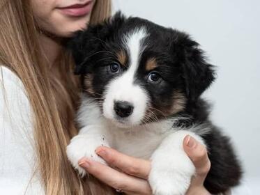 Australian Shepherd Hundewelpen: Mega tolle Australian Shepherd Welpen  liebevolle Hausaufzucht