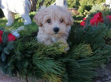 Hundewelpen: Wundervolle Maltipoo Welpen aus liebevoller Familienzucht