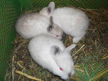 Hasen und Kaninchen: Kalifornier blau-weiß-Jungtiere