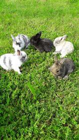 Hasen und Kaninchen: Schlappohr Kaninchen Löwenkopf Widder verschiedene Farben