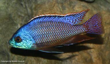 Süsswasserfische: Verschiedene Malawibarsche groß ab 3-5  cm 5 Euro abzugeben