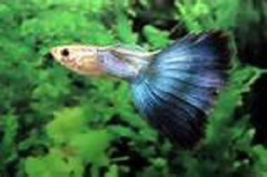 Süsswasserfische: 12 Arten Guppys abzugeben