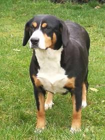 Appenzeller Sennenhund Hundewelpen: Swissydog von Nibelungenblut