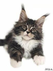 Maine Coon Katzenbabys: Maine Coon Kitten Träume