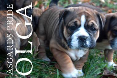 Englische Bulldogge Hundewelpen: Asgards Pride Continental Bulldogs
