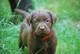 Labradorwelpen chocolate und foxred